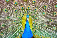 Sweden, Stockholm, Skansen zoo.  Peacock.