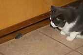 Tabby cat stalks a mouse.
