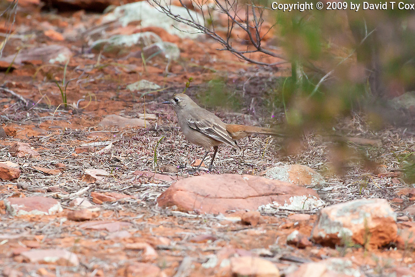 Southern Scrub-Robin, near Arkaroo Rock,  Flinders Range, SA, Australia