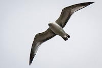 A gull flying by appears to look down and cock its head inquisitively.