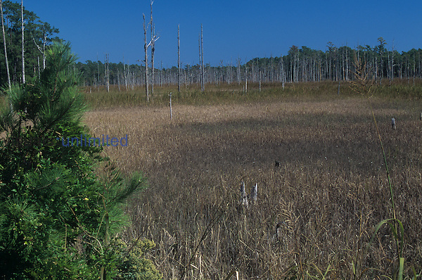 Brackish marsh bordering a tidal creek, North Carolina, USA.
