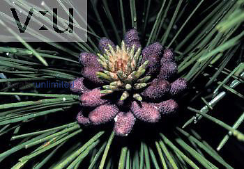 Male ,staminate or pollen, cones on a Ponderosa Pine ,Pinus ponderosa,, Western USA.
