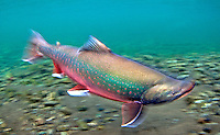 Dolly Varden, Underwater
