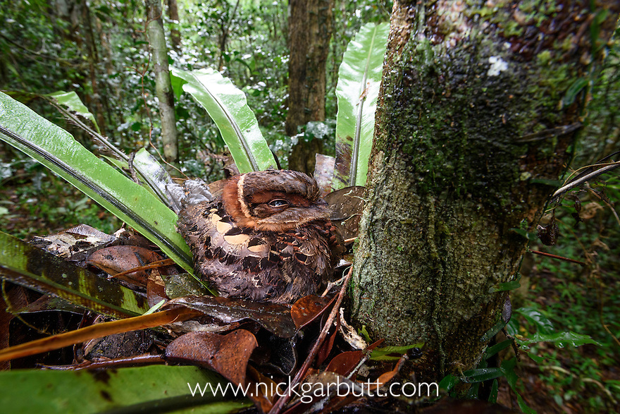 Collared Nightjar (Gactornis enarratus)(formerly Caprimulgus enarratus) incubating its eggs on nest built in the middle of a Bird's Nest Fern (Asplenium sp.). Mid-altitude rainforest, Andasibe-Mantadia National Park, eastern Madagascar.