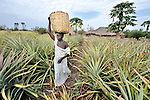 Christine Fatina, a United Methodist, harvests pineapples  on her family's farm in Pisak, Southern Sudan...