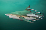 Blacktip shark-Requin bordé (Carcharhinus limbatus) South Africa.