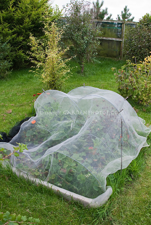 Protecting plants strawberries from birds and animals with netting arbor