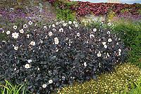 Dahlias with white flowers and dark purple foliage next to wall