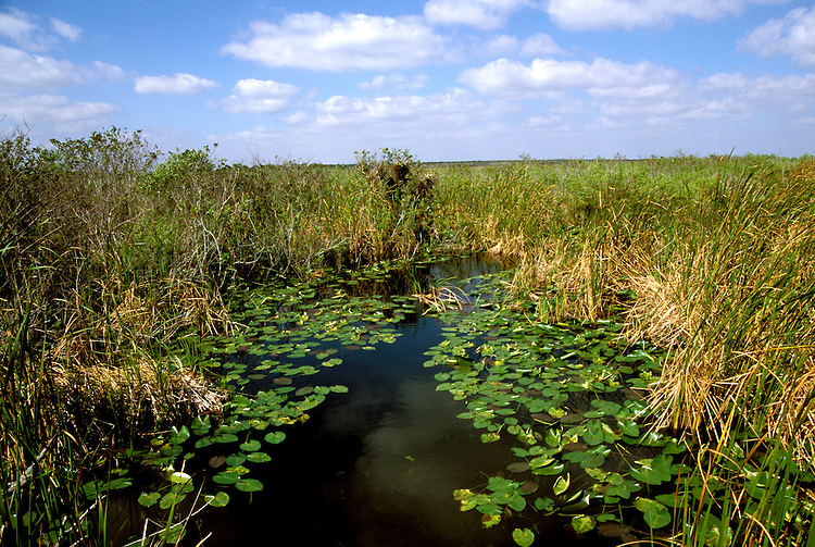 Florida: Everglades Natl Park.   Sawgrass on Anhinga Trail.  Photo #:  flever101..Photo copyright Lee Foster, 510/549-2202, lee@fostertravel.com, www.fostertravel.com