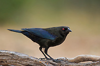 512440023 a wild male bronzed cowbird molothrus aeneus perches on  a log on santa clara ranch starr county texas united states