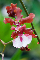 Popular fragrant orchid Oncidium Sharry Baby 'Sweet Fragrance' with one red and white little flower