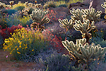 Backlight on Brittlebush, Jumping Cholla, and Chuparosa in bloom near Plum Canyon, Anza-Borrego Desert State Park, California USA