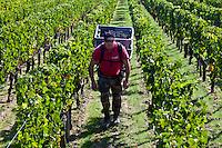 Vendangeur with Merlot grapes at vendange harvest in famous Chateau Petrus vineyard at Pomerol in Bordeaux, France
