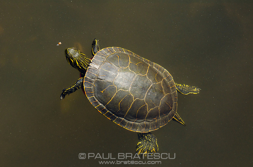 Western Painted Turtle (Chrysemys picta bellii) Getting ready to surface for a floating bug meal.