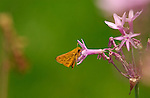 Fiery Skipper on Sweet Garlic, Hylephila phyleus, Tulbaghia, Southern California