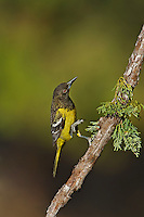 561970008v a wild juvenile male scott's oriole icterus parisorum perches on a douglas fir tee limb in madera canyon green valley arizona united states