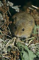 Zwergmaus, Zwerg-Maus, Maus, Micromys minutus, Old World harvest mouse