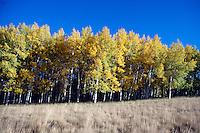 FALL FOLIAGE<br /> Fall Aspens<br /> Populu tremuloides<br />  Flagstaff, AZ