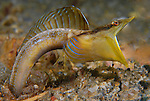 Blue Throat Pike Blenny, Chaenopsis ocellata, Pike Male displaying courtship behavior