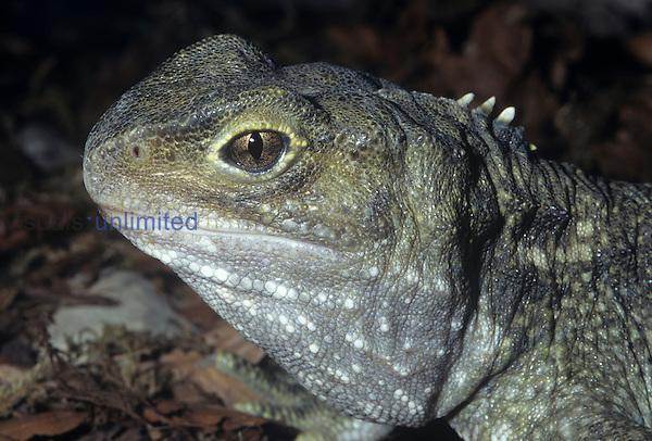 Tuatara head (Sphenodon punctatus). New Zealand.