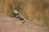 442800005 a wild juvenile male yellow-backed spiny lizard sceloparus uniformis perches on a rock along chalk cliffs road bishop california united states