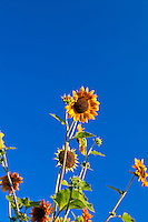 Sunflowers (Helianthus annuus) in a garden against a blue-sky backdrop.