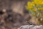 A dark spotted lizard crawls along the lichen-covered rocks with bright yellow flowers in the background, Harney County, Oregon