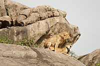 Lion pair mating on a kopje rock (Panthera leo), Serengeti National Park, Tanzania