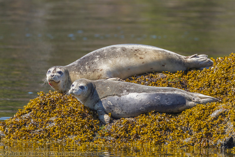 Two harbor seals hauled out on rocks to thermoregulate in the sunshine of Unakwik Inlet, Prince William Sound, Alaska.