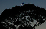 A crescent moon over a oak tree in Corte Madera California.
