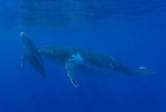 South Pacific humpback whale/s underwater (Megaptera novaeangliae)