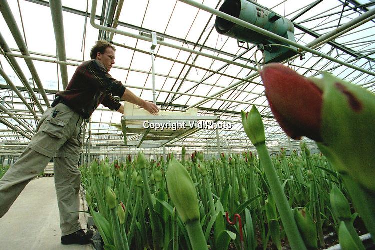 Foto: VidiPhoto..ANGEREN - Bij bloemenkweker Harry Evers uit Angeren is de oogst van de amaryllis nu goed begonnen. De steeds populairder wordende snijbloem is vooral een topper rond Kerst. Zo'n 80 procent van de bloemen gaat naar het buitenland, voornamelijk Duitsland. Het gebied rond Angeren/Huissen is vanwege zijn gunstige ligging vlak bij de grens, het nieuwe amarylliscentrum van Nederland aan het worden. Mede om die reden start Bloemenveiling Oost Nederland in Bemmel van 23 oktober tot half februari een proef met de verkoop van deze bloem op internet.