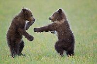 Alaska brown bear cubs of the year play fighting