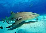 Bahamas, Sharks and dolphins, Lemon Sharks (Negaprion brevirostris)