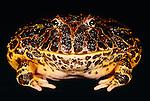 Bell's horned frog, South America