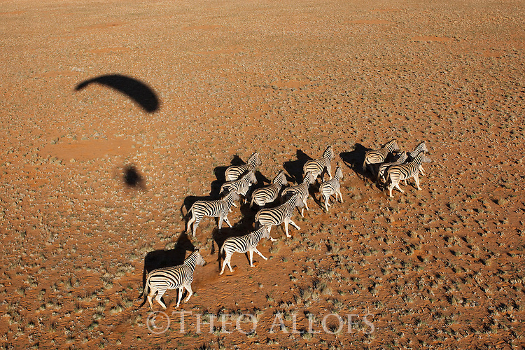 Namibia, Namib Desert, Namibrand Nature Reserve, aerial of running zebra herd in desert (Equus burchelli) with shadow of powered paraglider