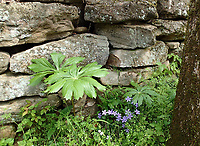 NWA Democrat-Gazette/FLIP PUTTHOFF <br /> Mayapples, wildflowers and a native stone fence create a scene April 14 2017 on the hike to Kings River Falls.