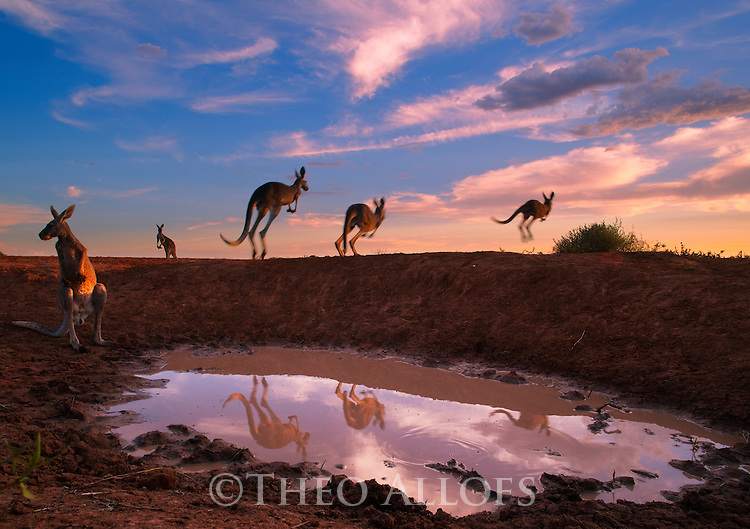 Australia,  NSW, Sturt National Park; red kangaroos jumping away from water hole (Macropus rufus); the red kangaroo population increased dramatically after the recent rains in the previous 3 years following 8 years of drought