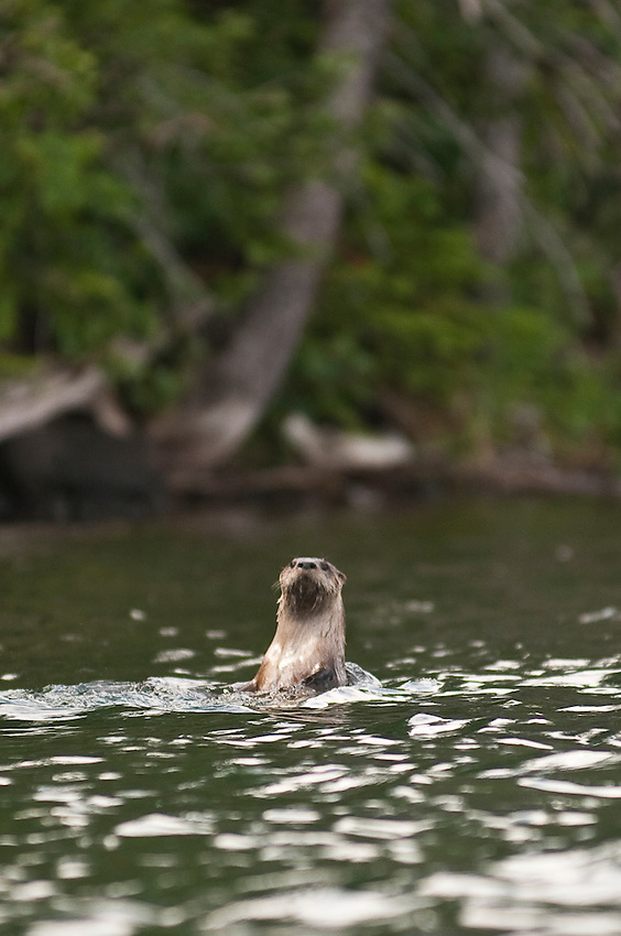 A river otter at Isle Royale National Park.