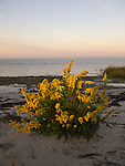 Seaside goldenrod soaks up the first light of day on Goose Island, VA.