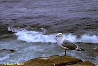 1Z01-003z  Herring Gull - Larus argentatus