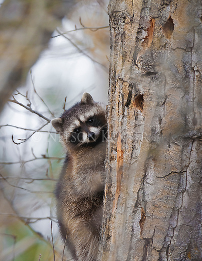 A Raccoon climbing on a cottonwood Tree in early morning in Montana
