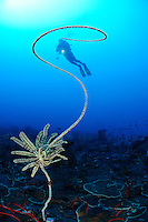 Stichopathes sp., Drahtkoralle mit Federstern und Taucher, wire coral with feather star and scuba diver, Bali, Indonesien, Indopazifik, Bali, Indonesia Asien, Indo-Pacific Ocean, Asia