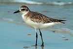 Sanderling, Calidris alba, at waters edge, Florida Everglades. .USA....