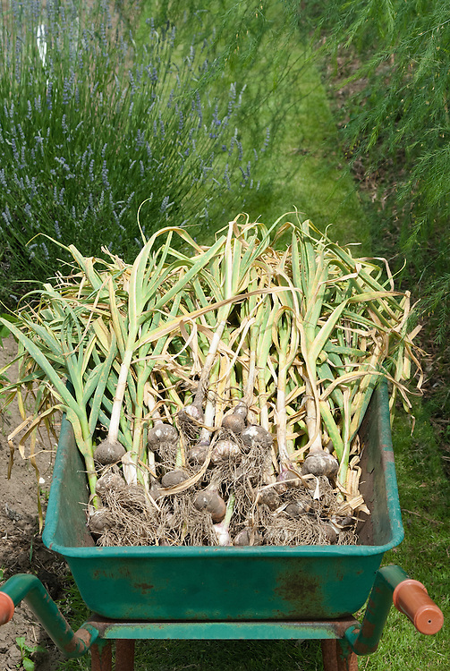 Newly harvested garlic, late JUne.