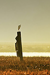 Lonely Vigil: egret waiting for the sun to fall, Back Bay, CA.