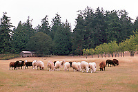 Saltspring Island, Southern Gulf Islands, BC, British Columbia, Canada - Flock of White, Black, and Brown Sheep grazing on Farm Pasture
