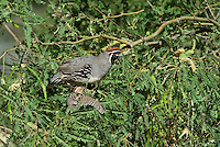 574470032 a wild adult male and chick gambel's quail callipepla gambelli perch in a mesquite tree in green valley arizona united states