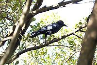 Torresian Crow, Kooloobung Crk Park, Port Macquarie, NSW, Australia