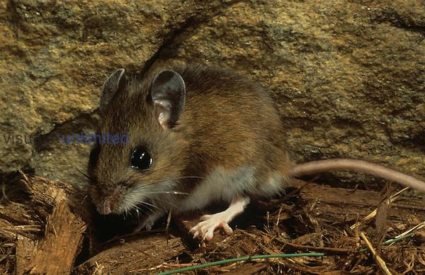 Deer Mouse (Peromyscus maniculatus), North America.